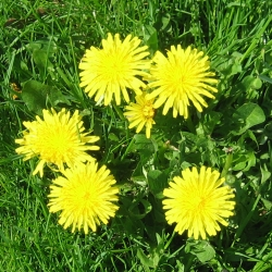 Spring dandelions in my yard