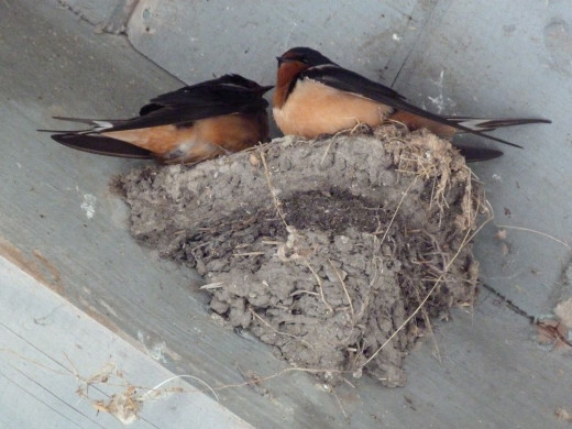 Cliff Swallows in nest, underneath picnic shelter.