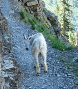 Mountain goat on Highline Trail