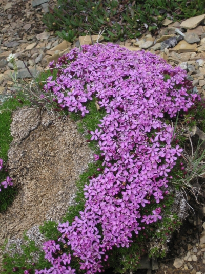 Moss Campion -- Alpine wildflower