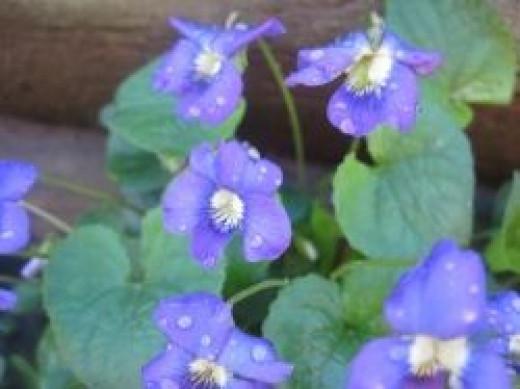 Wild Violets in my yard.