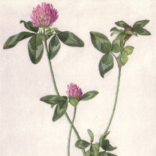 Drawing of red clover, from The National Geographic Magazine, June 1917