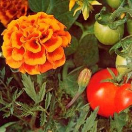 Tomatoes and French Marigolds