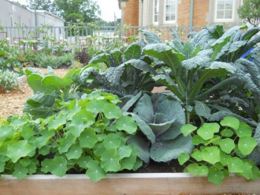 pix by porchside gardening Cabbage and Nasturtiums