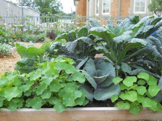 pix by porchside gardening Cabbage and Nasturtiums