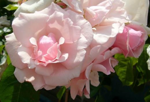 Rose 'Happy Return's