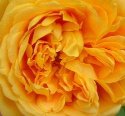 Rambling-Rose-Flower