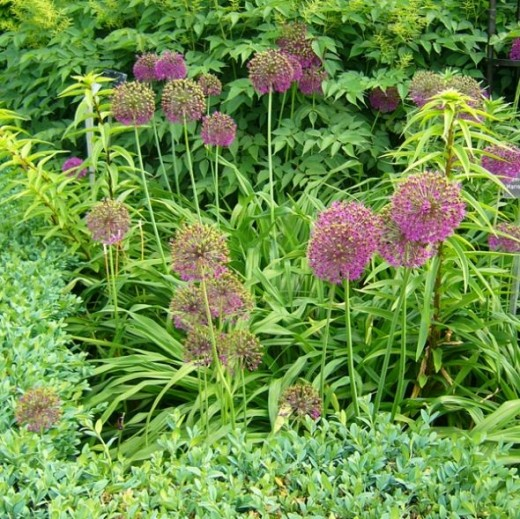 Alliums and Daylilies