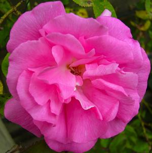 Rose Zepherine Drouhin