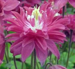 Aquilegia Clementine Red