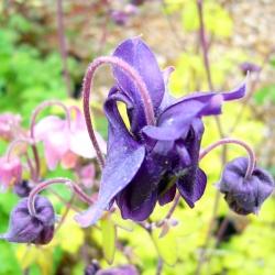 Aquilegia Purple Emperor