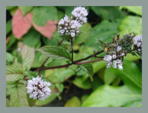 The scent of peppermint has been known to be a natural ailment for headache, nausea, and motion sickness.