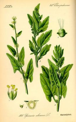 """Prof. Dr. Otto Wilhelm Thomé's """"Spinacia oleracea"""""""
