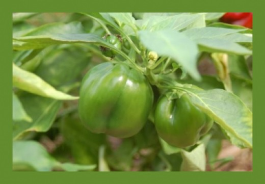 Peppers in the garden: green bell peppers growing on the vine.