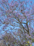 Jacaranda Trees in Bloom: My Photos