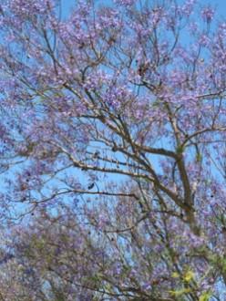 Jacaranda Trees in Bloom: My Photos