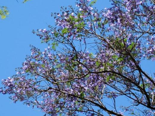 Jacaranda tree flowers just opening, May 2, 2011.