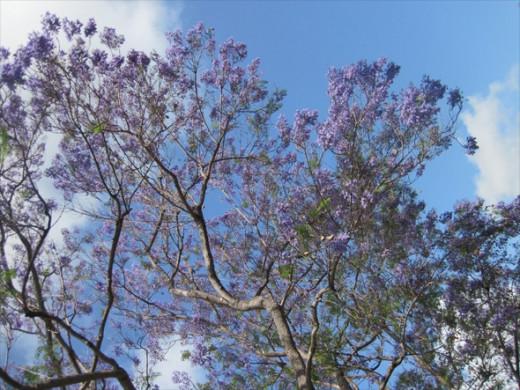 Jacaranda flowers against a cloudy sky, May 25, 2012.