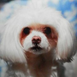 My Maltese Dog