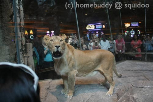 The Lion Habitat at the MGM Grand - Lions, usually sleeping, on display inside glass walls within the main area.