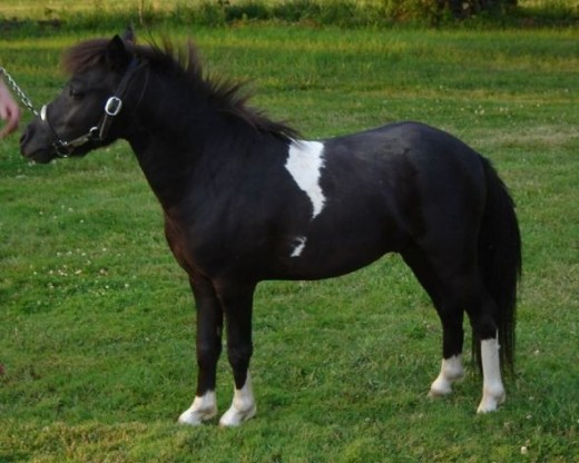 Falabella Miniature Horse. Image courtesy of Flickr Creative Commons, author Bill Strong