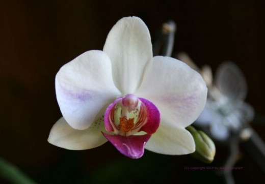 One of my orchids.