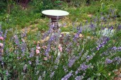 Birdbath with lavender and roses.