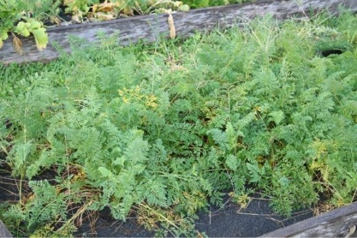 Carrots in the kitchen garden.