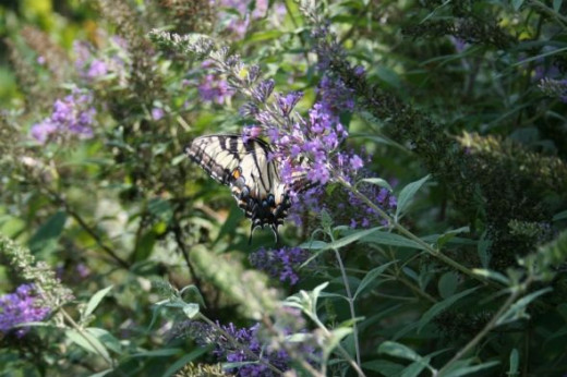 Monarch butterfly on butterfly bush.