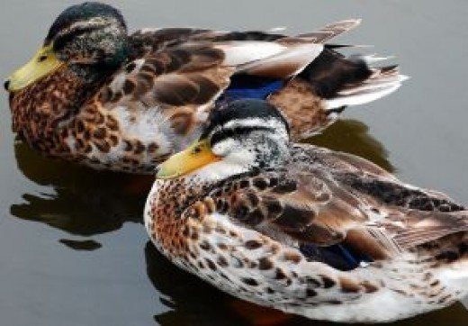 Backyard ducks do not require a pond or lake.
