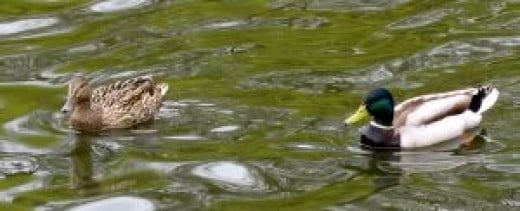 Ducks should be able to submerge their heads in their waterer if not provided with a lake or pond.