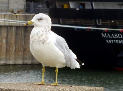 Seagull posing for my camera.