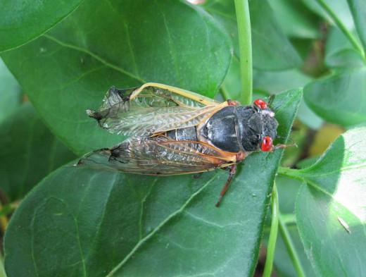 deformed cicada after molt