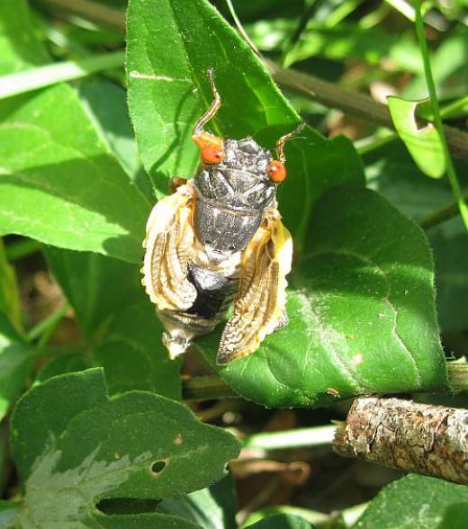 deformed cicada