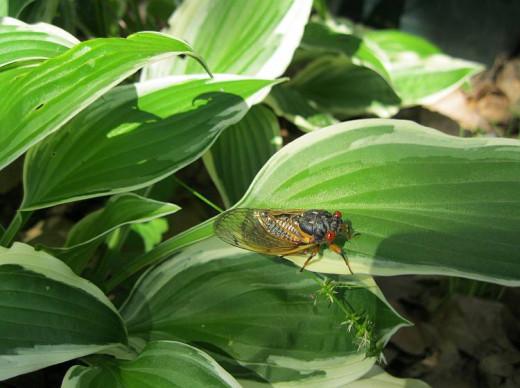 A Cicada on My Hosta