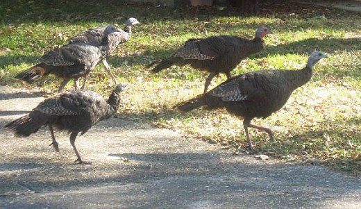 five wild turkeys