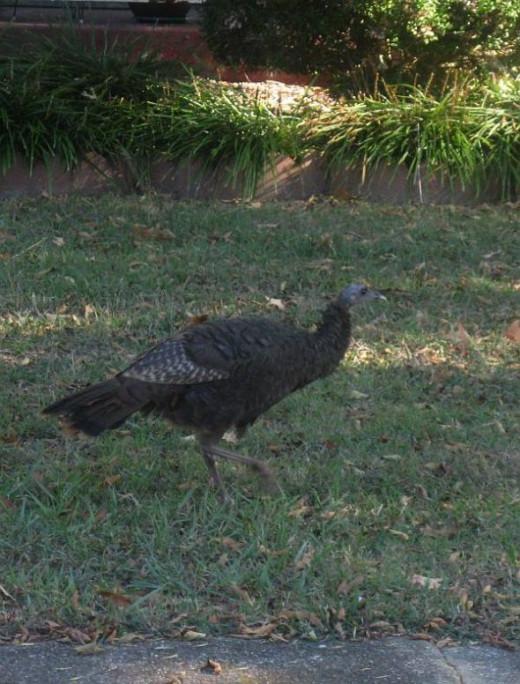A lone turkey.