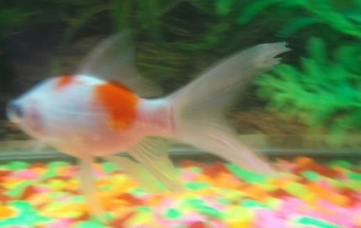 goldfish fin rot disease