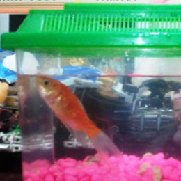 How to keep goldfish alive in a fish bowl without an air pump for What fish can live with goldfish