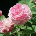 The History Of Attar of Roses