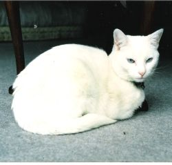 Chalky - the deaf white cat.