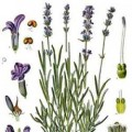 Essential Oil Of Lavender Uses