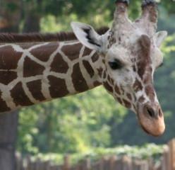 The Incredible Giraffe