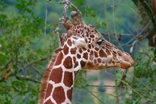 giraffe knobs