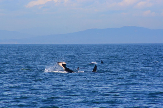 Orcas on the Puget sound © by photographer Linda Hoxie