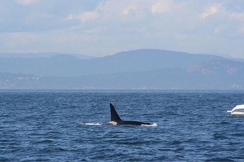 Very Large Male Orca or Killer Whale near a small boat