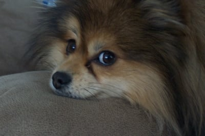 Smokey Joe our Pom