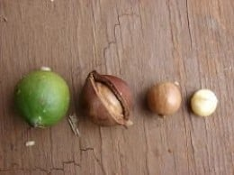 Macadamia Nuts are Poisonous to Dogs