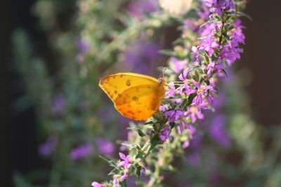 Clouded Sulphur likes Crown Vetch, Cow Vetch and White Clover