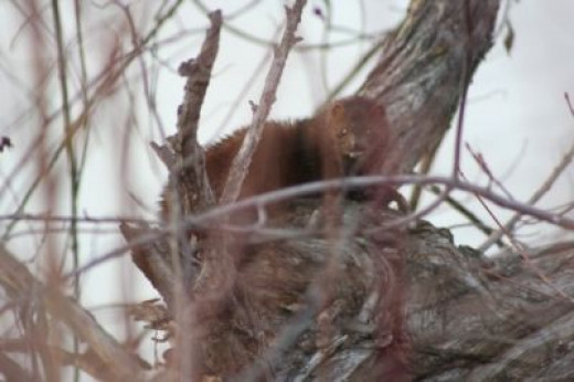 A Mink along the Greenbelt - Photo by Linda Hoxie (c)